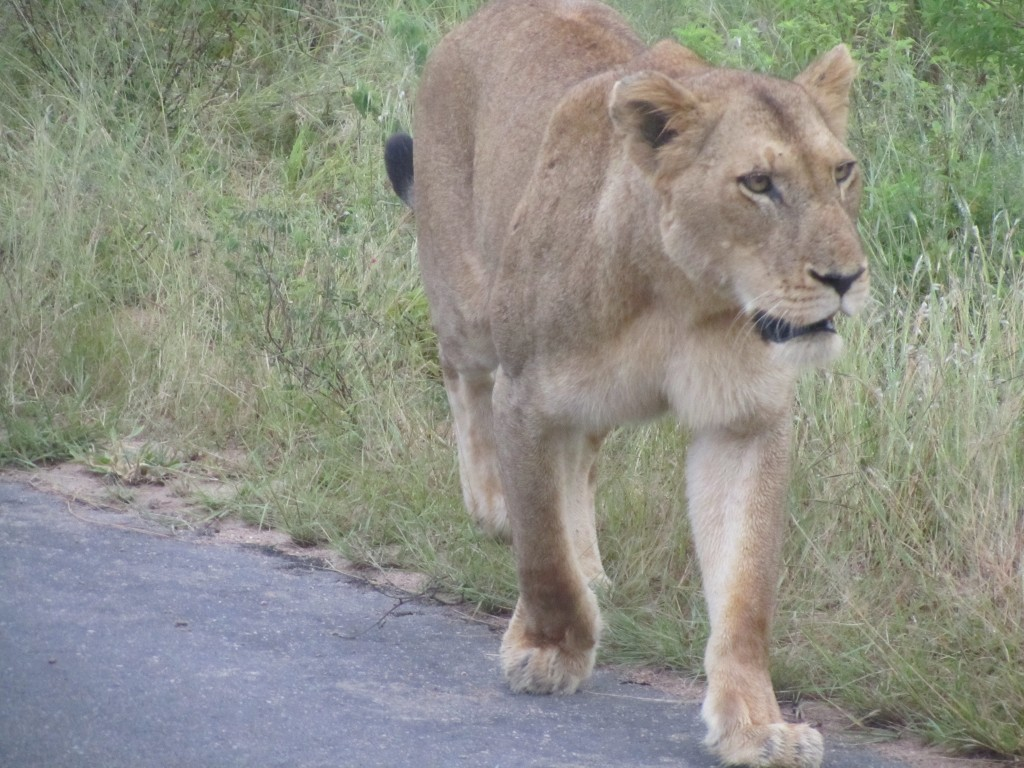 Lioness RIGHT next to our truck