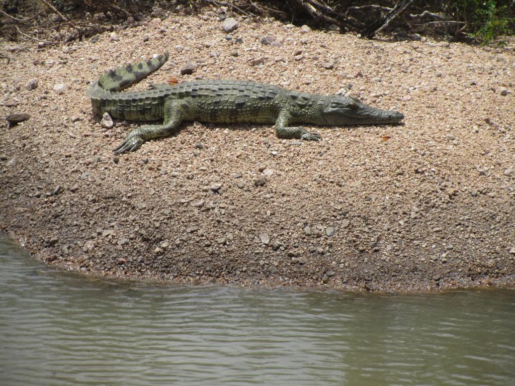Mini croc