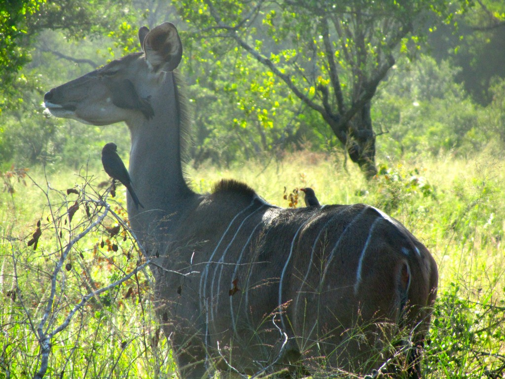 Female kudu with bird friends