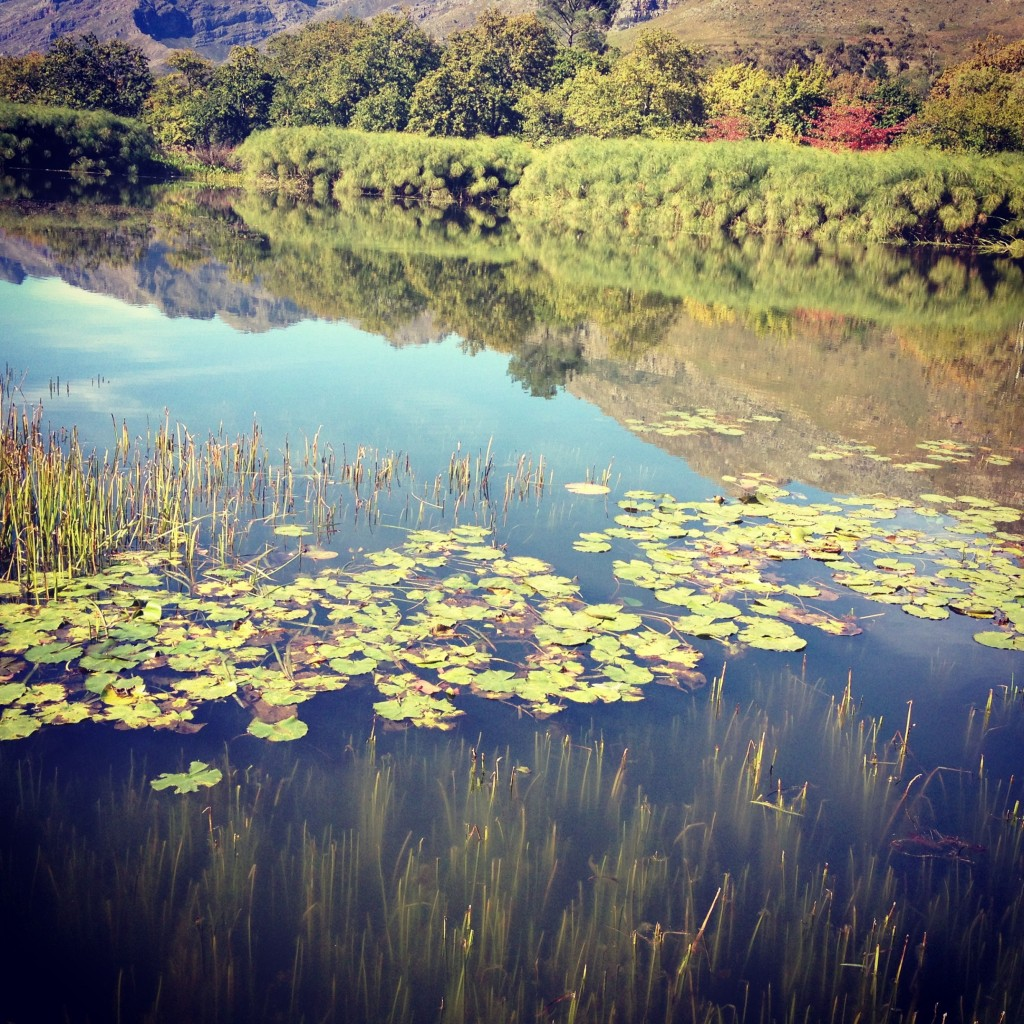 Water lilies at Stark Conde winery, Stellenbosch
