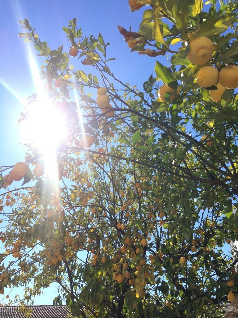 Lemon tree at Quinta da Fata